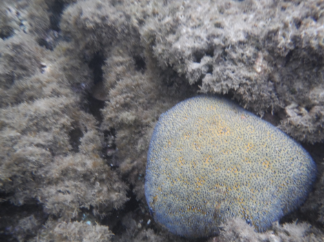 One lone healthy coral fights to survive amongst macroalgae in Mo'orea, French Polynesia.