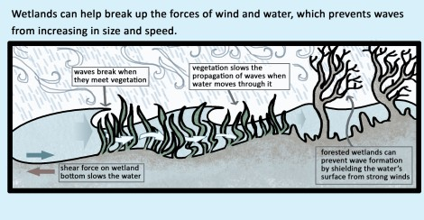 Wetlands can help break up the forces of wind and water, which prevents waves from increasing in size