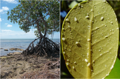 Left: Red mangrove (Rhizophora mangle; a salt excluder) found on Big Pine Key, FL Image: Alex Pilote Right: Mangrove leaf (unknown species) extruding salt in order to maintain proper saline levels within cells
