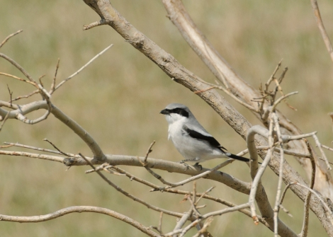 Loggerhead shrike bird. Flickr Creative Commons image.