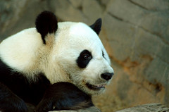 A giant panda at Zoo Atlanta.