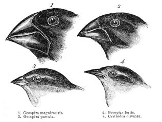 636px-Darwin's_finches_by_Gould