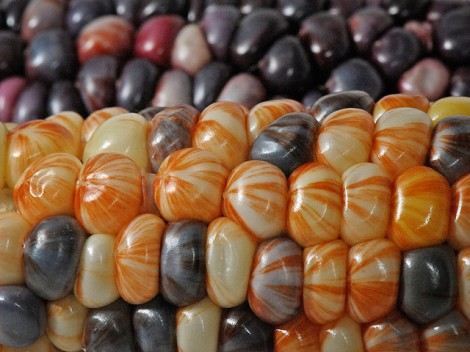 Corn kernels come in many different colors. Photo by theilr via Flickr.