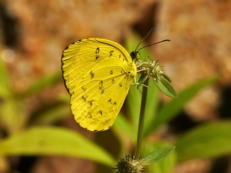 A common grass yellow butterfly. Photo via David Cook Flickr.