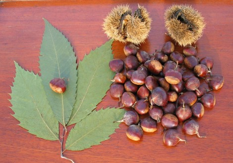 American chestnut leaves and nuts [Wikipedia commons]