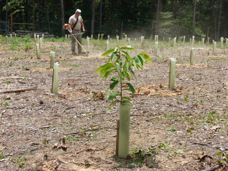 U.S. Army Environmental Command - American Chestnut Seedling - American Chestnut Foundation Volunteer Training Site-Catoosa's chestnut seedling orchard, 2009. [Flicker - https://www.flickr.com/photos/armyenvironmental/4443191356]