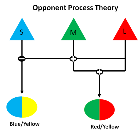 "Opponent Process Theory: Stimulus from the cones in our eye are processed in opposing color pairs red/green or yellow/blue. Red/green is processed by subtracting the signal from the Medium Wavelength (M) ""green"" cones from the signal from Long Wavelength (L) ""red"" cones. The high er the combined signal, the redder an object will appear, the lower the combined signal, the greener an object will appear. Yellow/Blue is processed by subtracting the signal from the Small Wavelength (S) ""blue"" cones from the combined signal of L and M cones . Image created by author"
