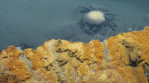 A poor pickled crab. Image via Nautilus Live.