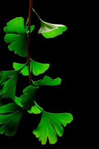 Living Ginkgo biloba plant. Image credit: James Field via Wikimedia Commons. Licensed under CC BY-SA 3.0.