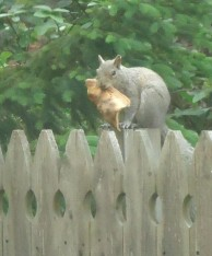 Squirrel_on_a_fence_eating_a_slice_of_pizza