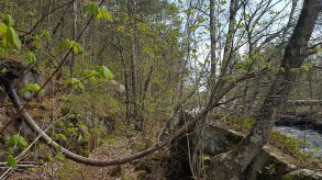 1024px-Example_of_gravitropism_found_in_a_tree_from_Central_Minnesota